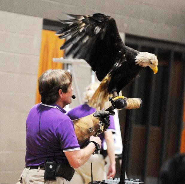 John Stokes Co Director Of Wings To Soar Holds A One Winged Bald Eagle During Wednesday Presentation At Patterson Area Civic Center