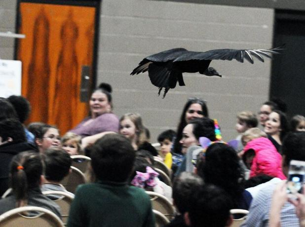 A Vulture Flies Over The Crowd Wednesday At Patterson Area Civic Center During Wings To Soar Presentation