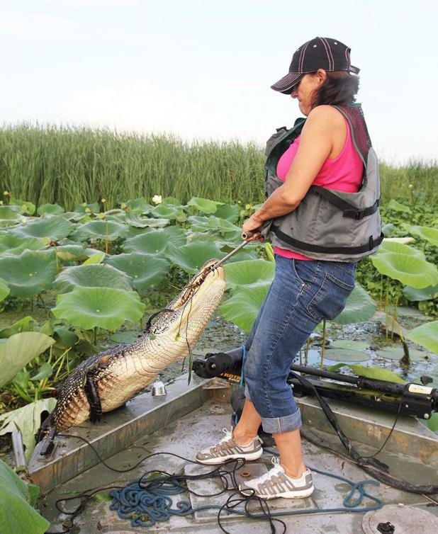 Christine Flores Wife Of The Daily Review Outdoors Writer John Pulls In An Alligator During 2016 Hunting Season Atchafalaya Delta