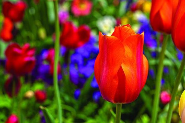 Get It Growing Plant Spring Flowering Bulbs In Fall St